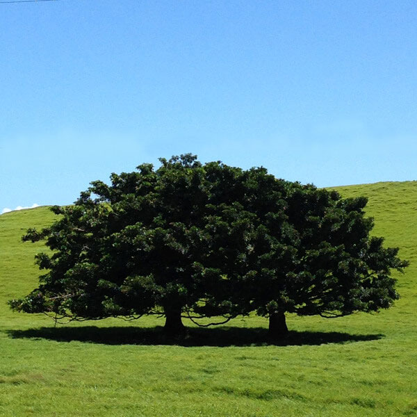 Two trees in a grassy meadow